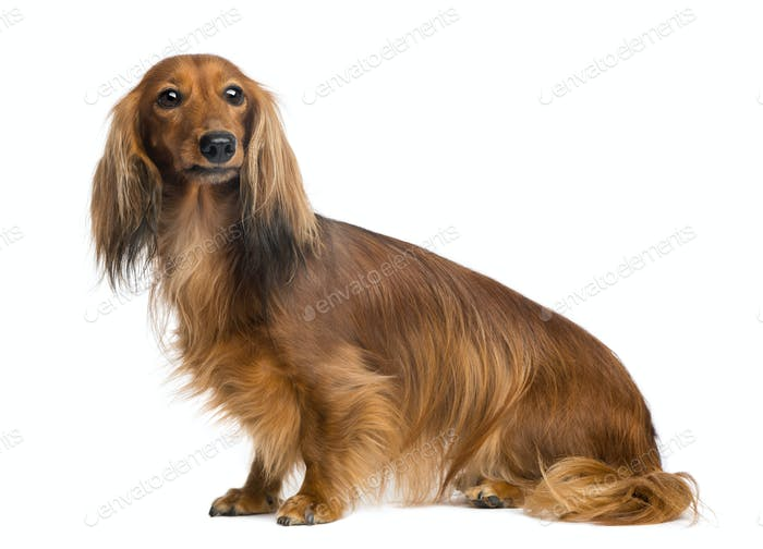 Dachshund, 4 years old, sitting and looking away against white background
