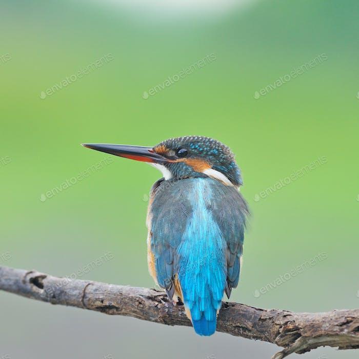 female Common Kingfisher