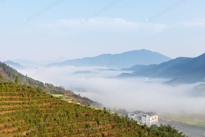 tea plantation in spring