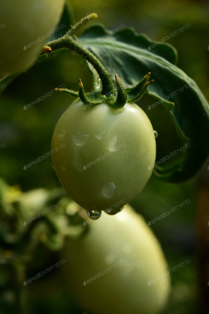 Close-up view the green young tomato in organic farm