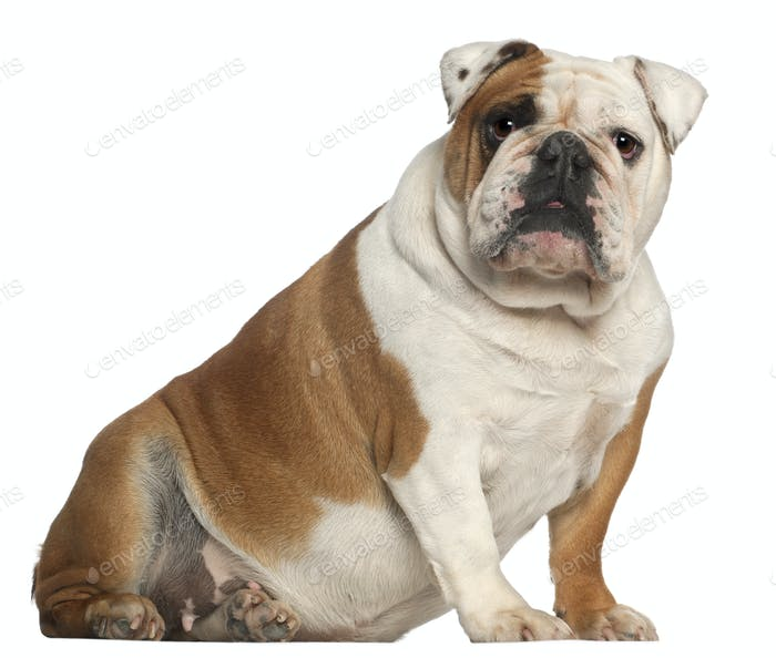 English Bulldog, 5 years old, sitting in front of white background
