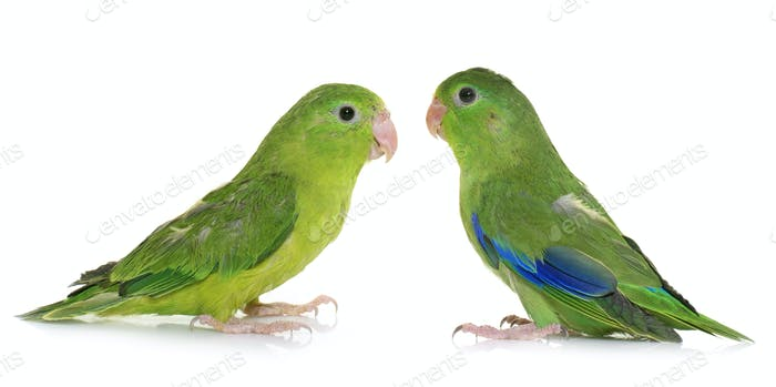 Pacific parrotlet in studio