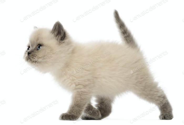 British Shorthair Kitten walking, 9 weeks old, against white background