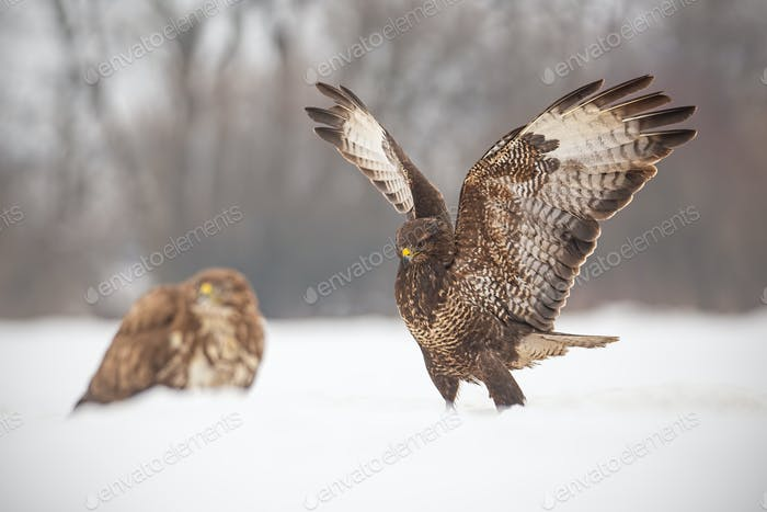 Common buzzards, buteo buteo, fighting in winter