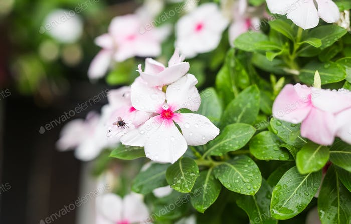 Flowers with rain drops in garden, West indian periwinkle