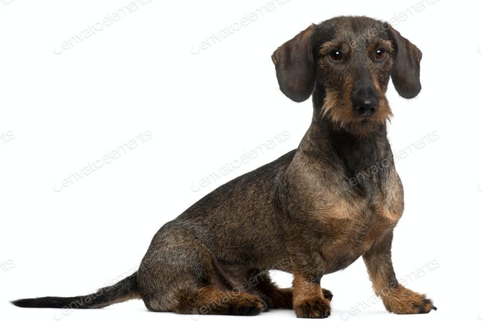Dachshund, 2 years old, sitting in front of white background