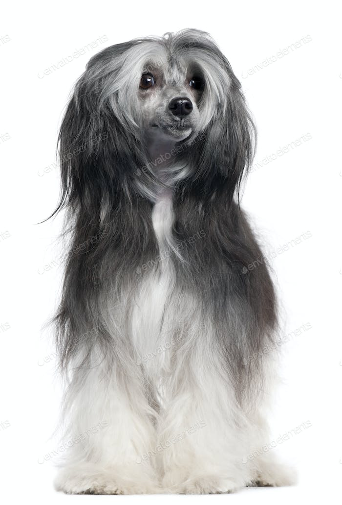 Chinese Crested Dog, 15 months old, standing in front of white background