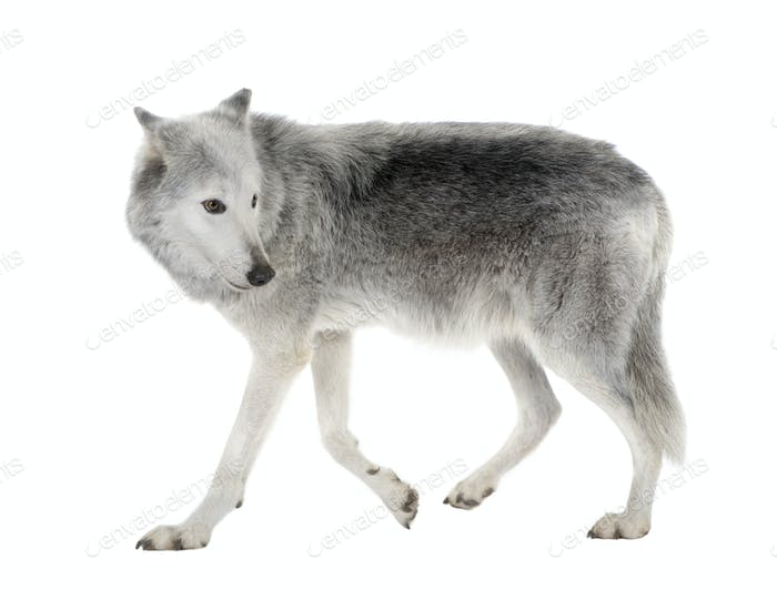 Mackenzie Valley Wolf (8 years)  - Canis lupus occidentalis