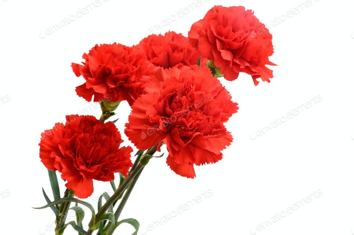 Five red carnations