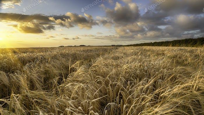 Ein Feld der goldenen reifen Gerste in der Landschaft von Cornwall