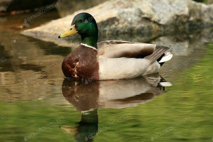 Duck - Stanley Park, Vancouver, BC, Canadá