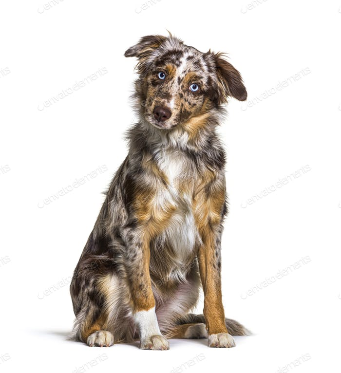 Puppy Miniatur americain shepherd red merle sitting, six months old, isolated