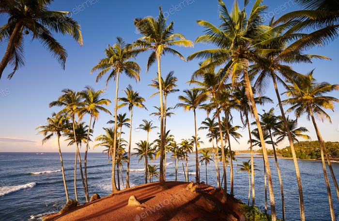 Coconut palm trees on a tropical island at sunrise.