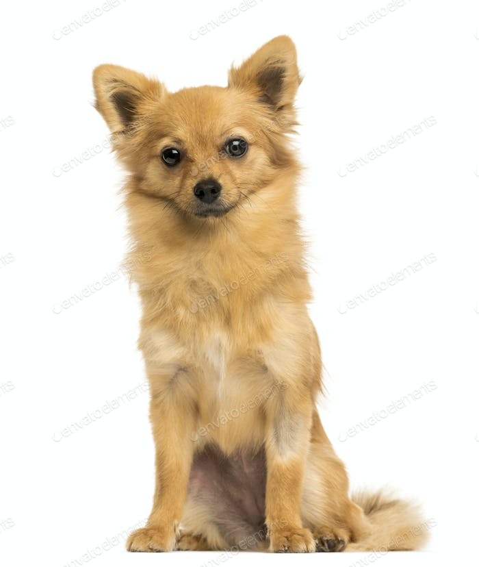 Front view of a Crossbreed dog sitting, 8 months old, isolated on white