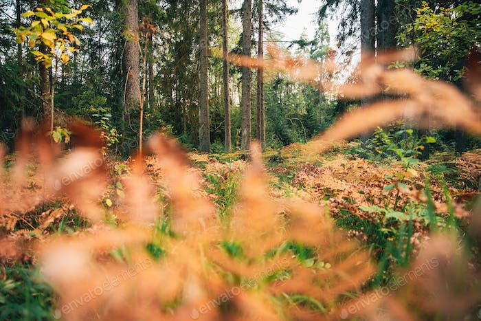 Pine Trees Trunks. Woods In Coniferous Forest. Autumn Pinewood, Evergreen Pines. Beauty in nature