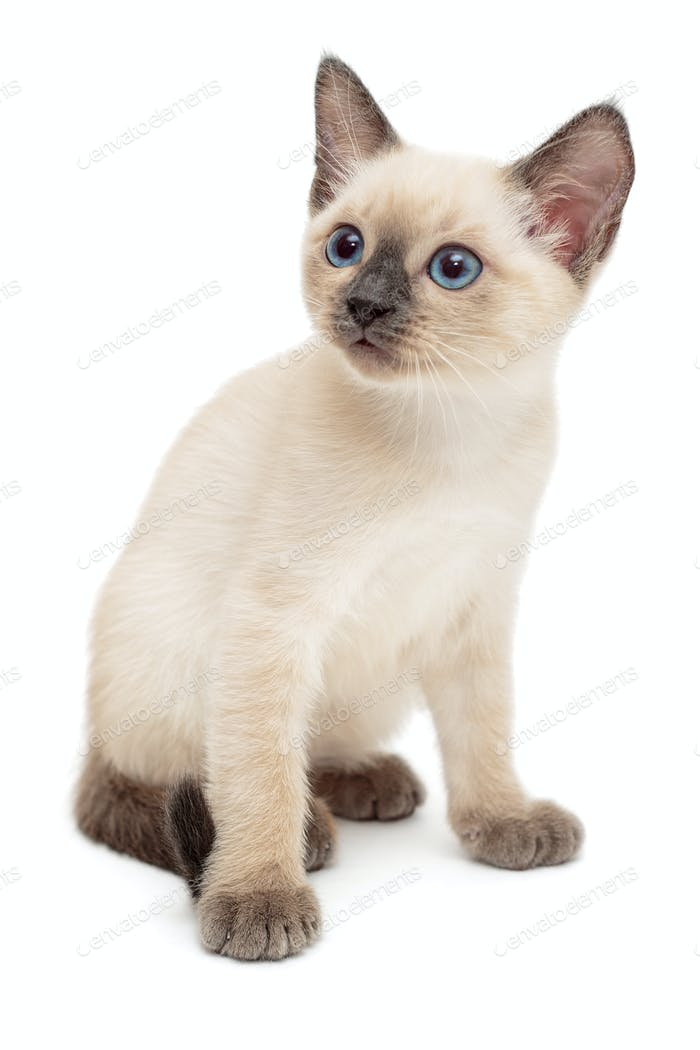 Small Siamese kitten