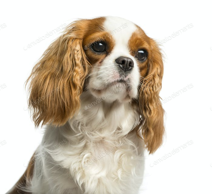 Close-up of a Cavalier King Charles Spaniel in front of a white background