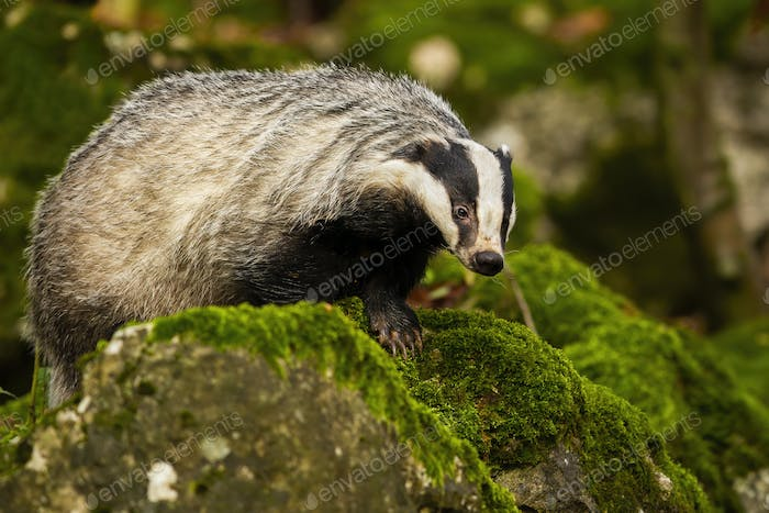 European badger walking on rocks with green moss in summer forest