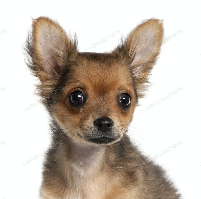 Close-up of Chihuahua puppy, 2 and a half months old, in front of white background