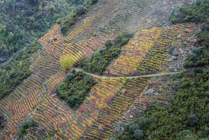 Colorful Autumnal Terraced Vineyards on the Slopes of Sil Canyon in Ribeira Sacra
