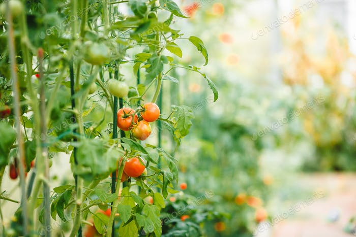 Rote reife Tomaten auf dem Zweig im Gewächshaus