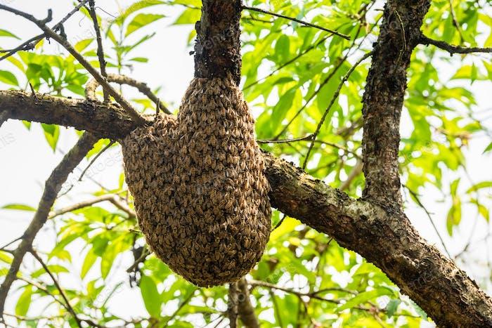 wilder Bienenstock auf Baum