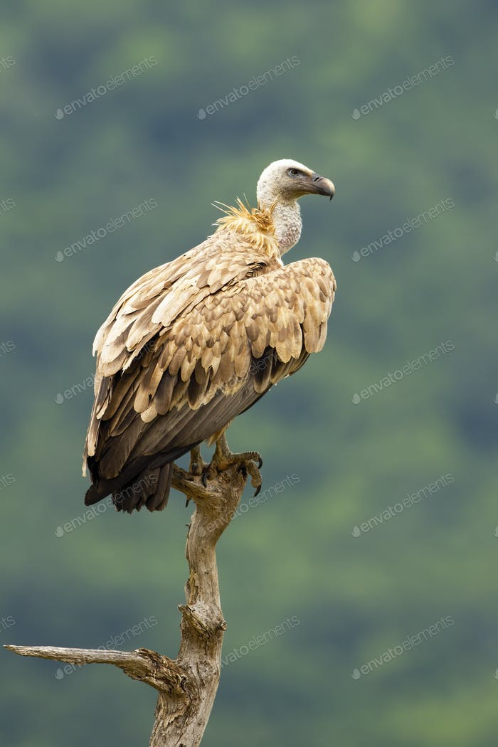 Griffon vulture sitting on treetop in Bulgarian mountains