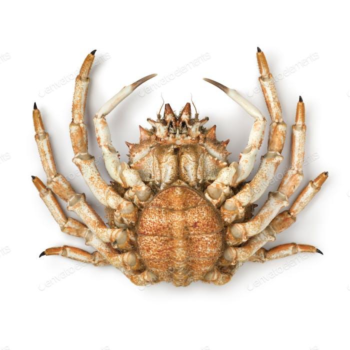 Bottom of a fresh raw female spider crab