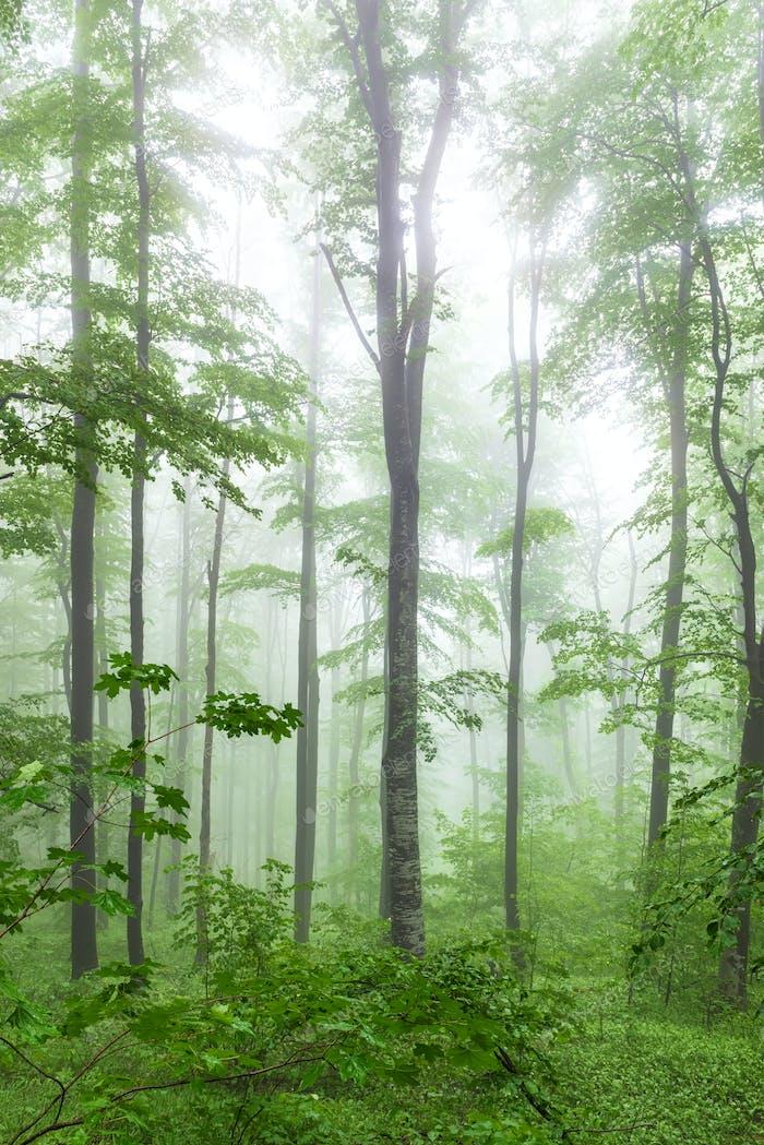 Nebeliger Frühlingswald