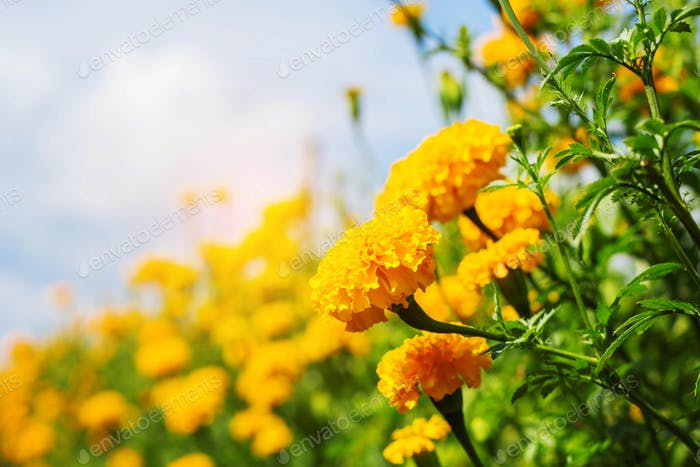 Colorful marigolds with the sky