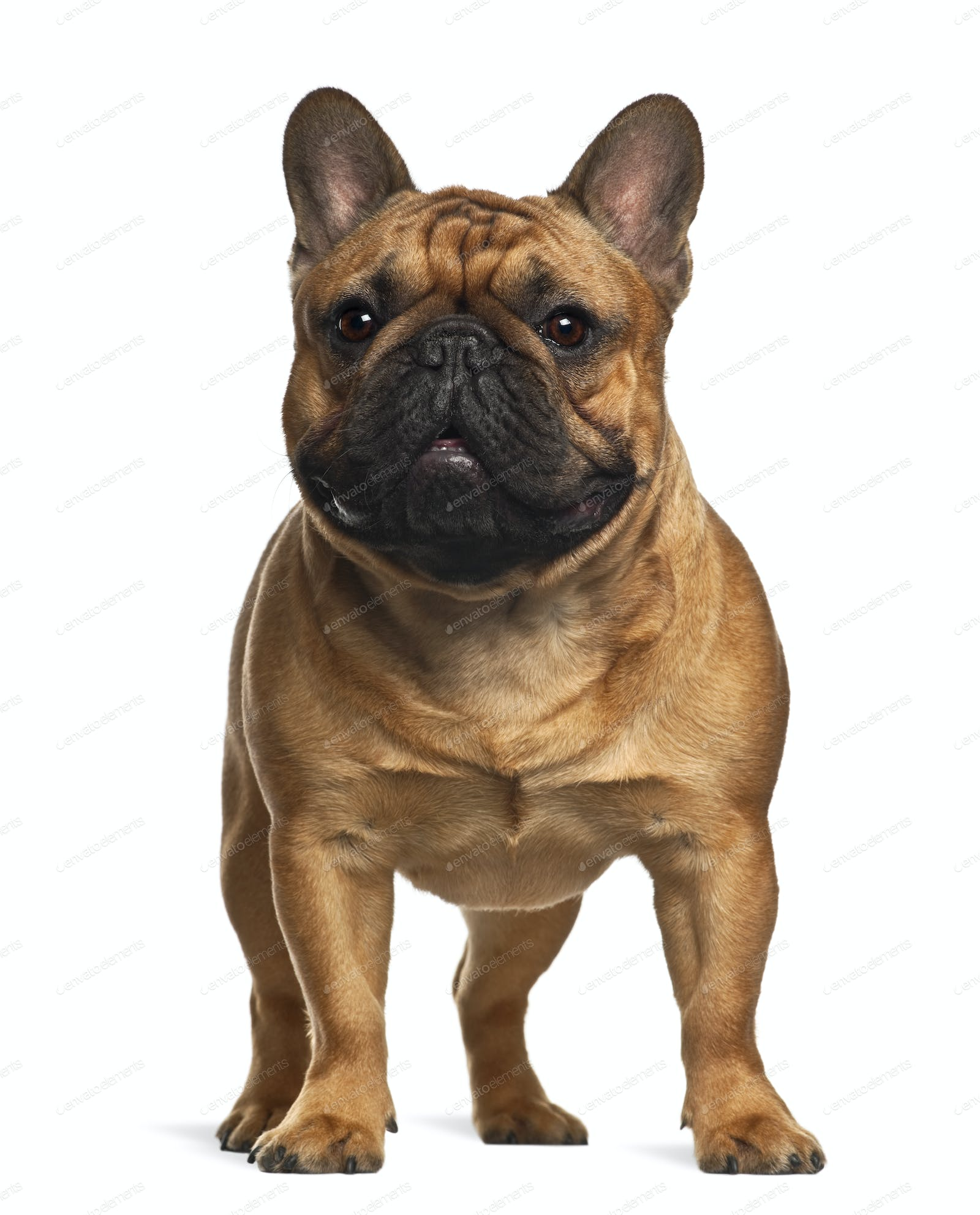 French Bulldog Puppy 4 Months Old Standing Against White Background Photo By Lifeonwhite On Envato Elements
