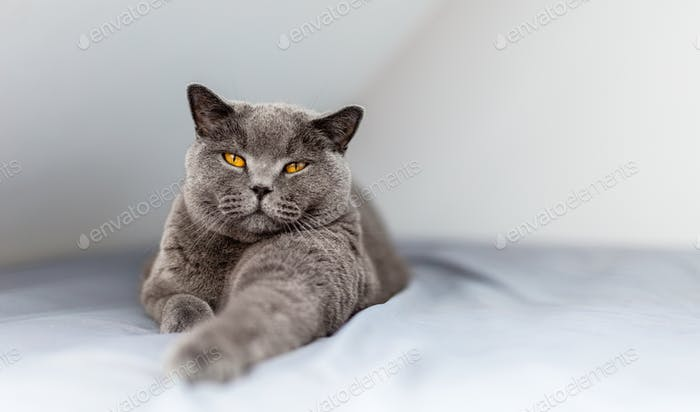 Proud British cat lying on the bed. Portrait of British shorthair breed.