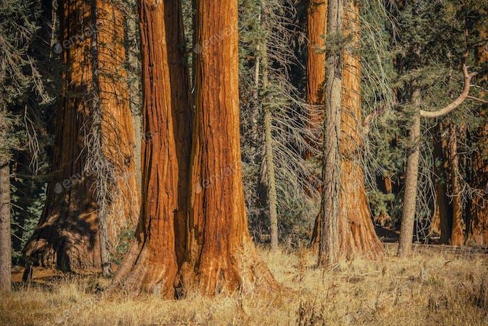 Ancient Sequoia Trees