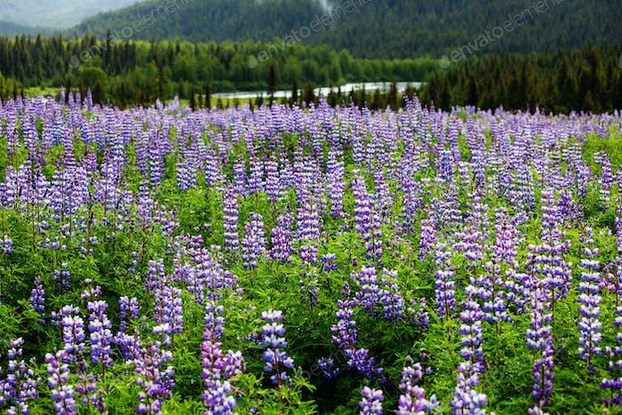 Flowers in Alaska