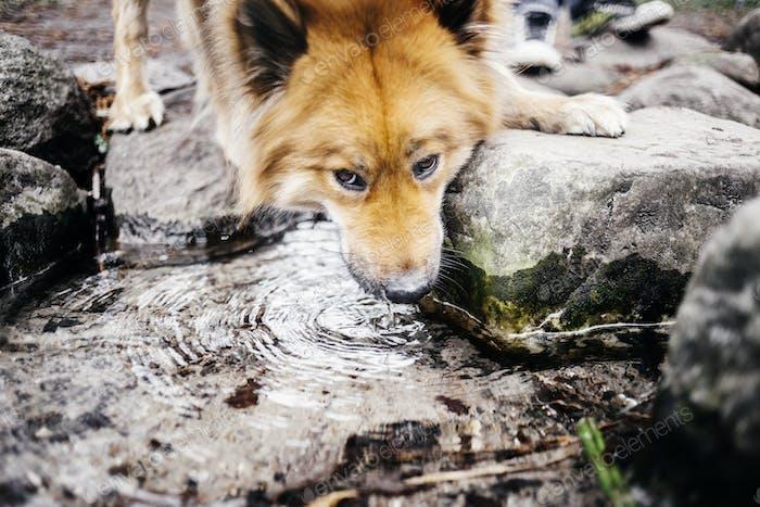 Eurasier Trinkwasser im Park