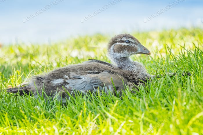 Australian Wood Duck Duckling