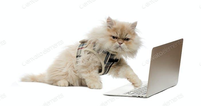 Persian pawing at a laptop