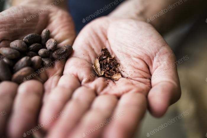High angle close up hand holding crushed, roasted cocoa bean.