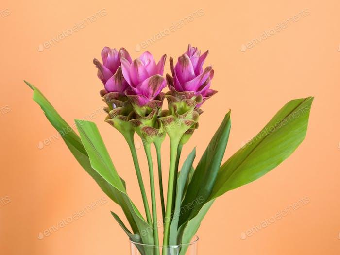 Lila Kurkuma Blüten auf orangefarbenem Hintergrund