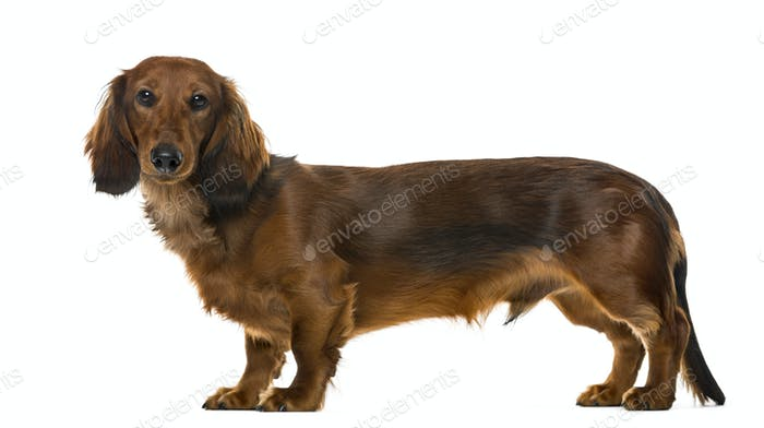 Side view of a Dachshund puppy, isolated on white, 6 months old