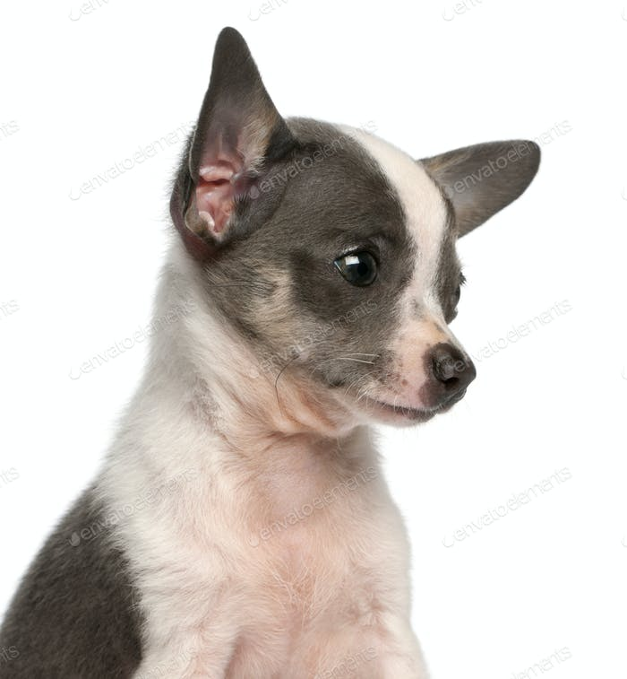 Chihuahua puppy, 3 months old, headshot in front of white background
