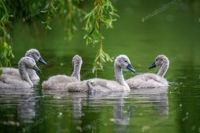 Five ygnets on summer day in calm water. Bird in the nature habitat
