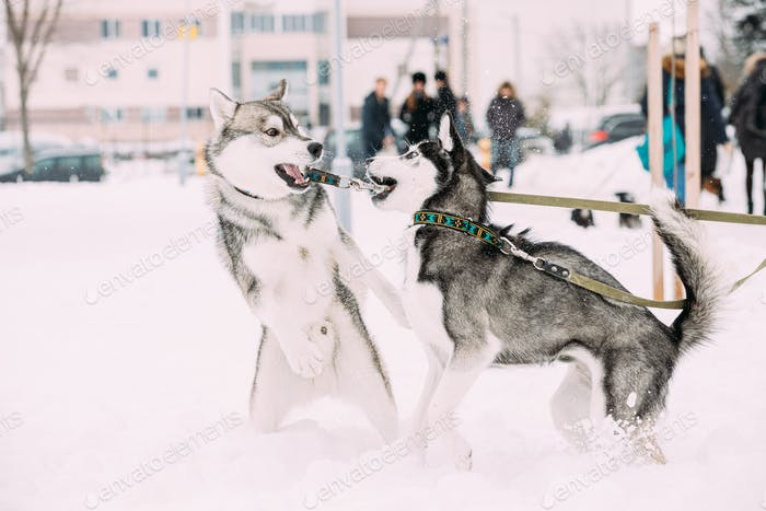 Two Funny Husky Dogs Funny Play Together Outdoor In Snow At Winter Day. Funny Pet