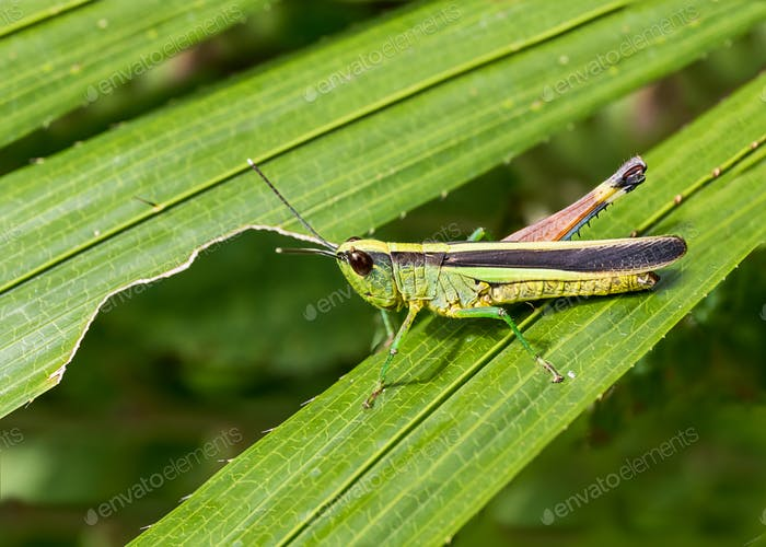 Grasshopper on green leaf in the forest-2