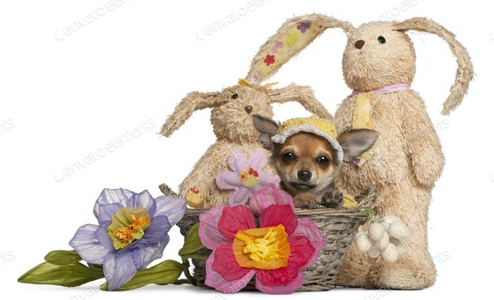 Chihuahua puppy in Easter basket with flowers and stuffed animals in front of white background