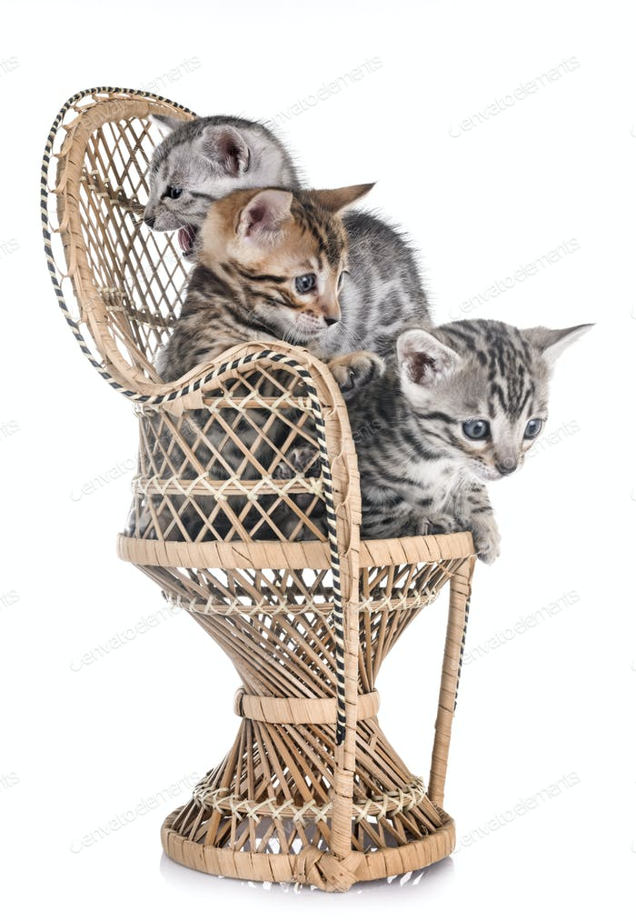 bengal kitten in studio