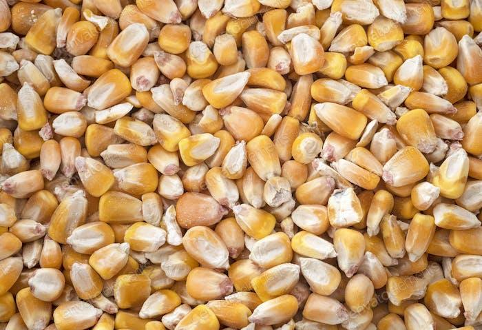 corn in studio