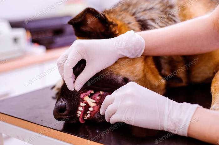 Veterinarian examining German Shepherd dog with sore mouth.
