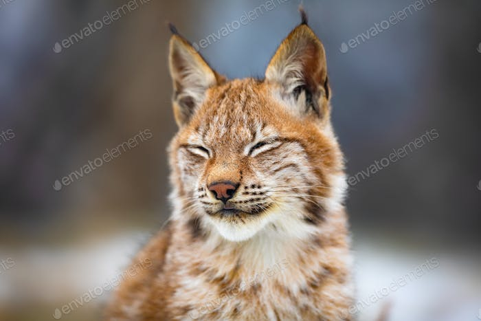 Portrait of eurasian lynx resting in the forest at early winter