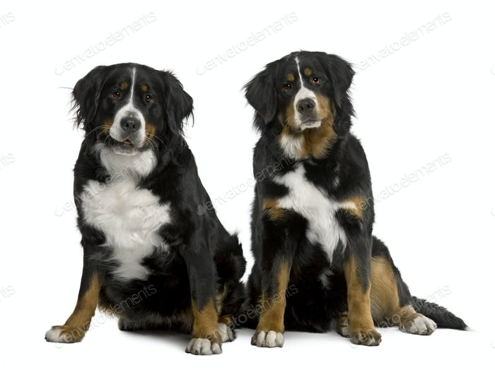 Two Bernese mountain dogs 2 years and 7 months old, sitting in front of white background